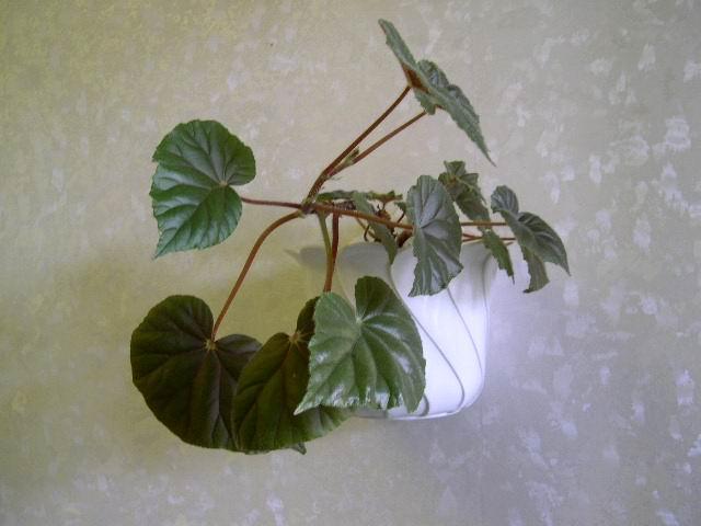 Комнатный цветок жасмин полиантовый купить с доставкой
